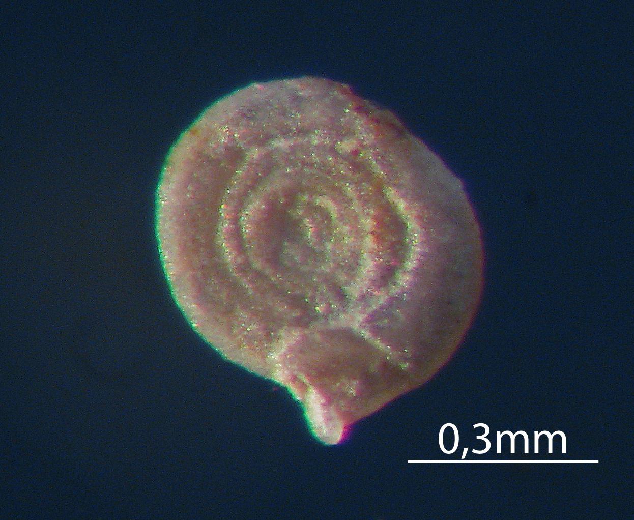 Mikrofossilien